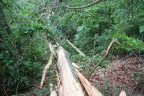 Baum drohte auf Lokalbahn zu stürzen